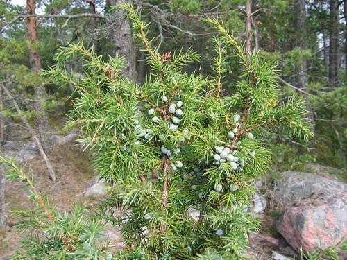 Растения России - деревья, кустарники, травы и другая флора страны 12