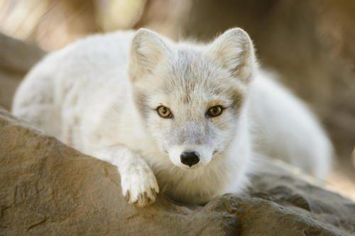 Животный мир России - список, виды, названия, описание и фото 16