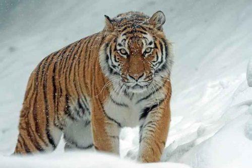 Виды и подвиды тигра: список, описание и фото