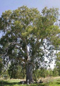 Характеристика растительного мира Австралии 5