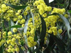 Характеристика растительного мира Австралии 6
