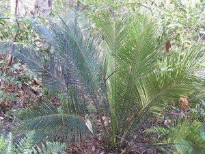 Характеристика растительного мира Австралии 13