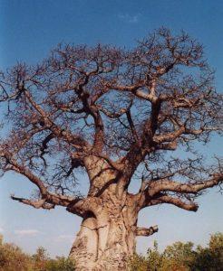 Растения Африки: характеристика, примеры, описание и фото 8