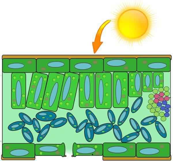 Как и где происходит процесс фотосинтеза у растений? 11