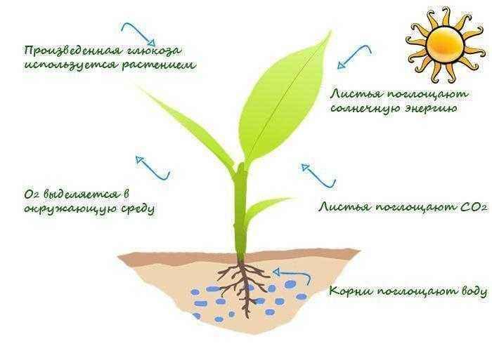 Как и где происходит процесс фотосинтеза у растений? 8