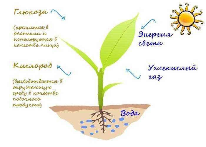 Как и где происходит процесс фотосинтеза у растений? 2