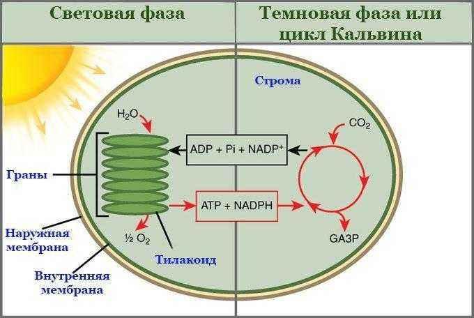 Как и где происходит процесс фотосинтеза у растений? 4