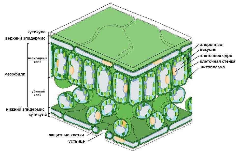 Как и где происходит процесс фотосинтеза у растений? 6