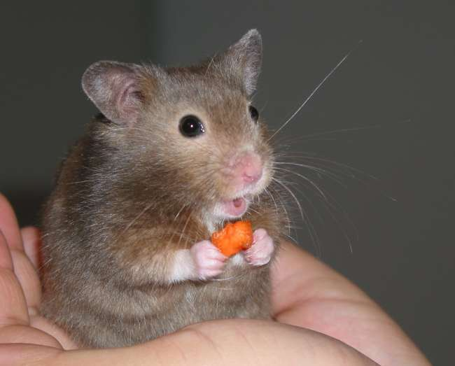 Можно ли давать хомякам морковь?