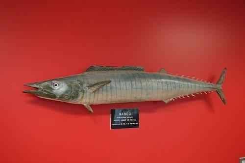 Какие рыбы самые быстрые в мире 4