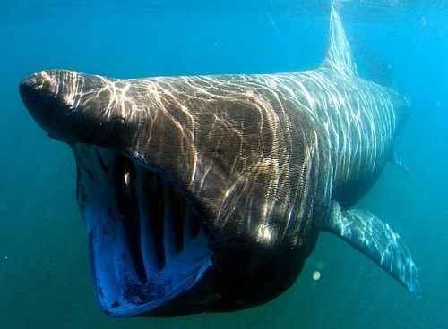 Фото и описание самых крупных рыб в мире 3