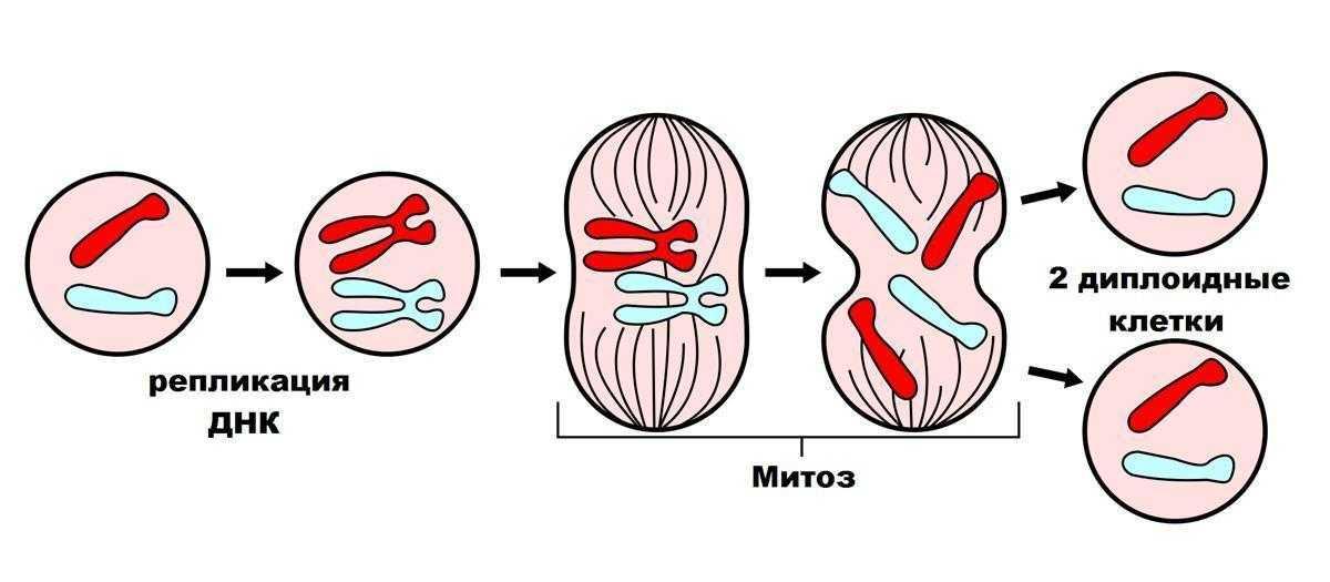 Митоз – значение, стадии деления клетки, подготовка