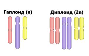 Гаплоидные клетки: процесс образование и количество хромосом 2