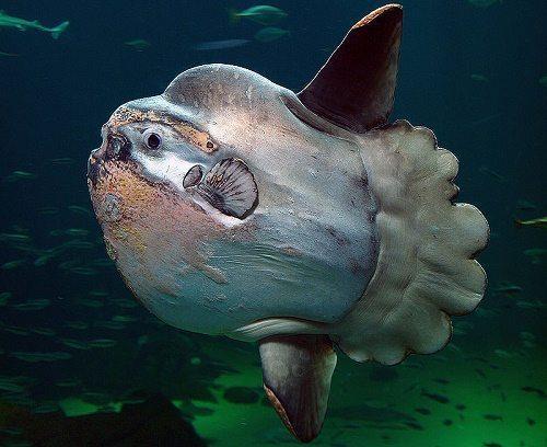 Какие виды рыб самые крупные на Земле - список, фото и характеристика 6