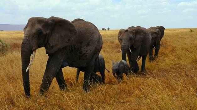 Хоботные животные: описание вымерших и ныне живущих представителей отряда 5