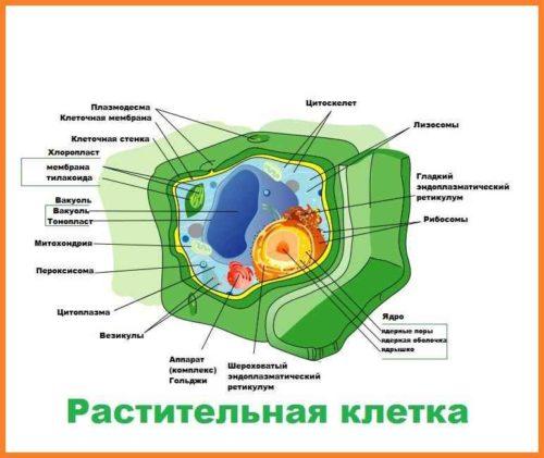 Сравнение строения животных, растительных, грибных и бактериальных клеток 4