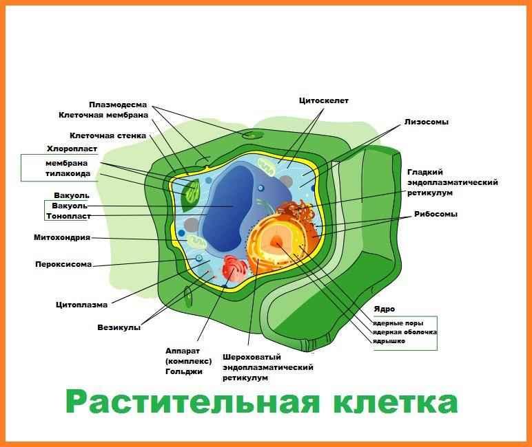 Особенности строения и основные органеллы растительных клеток 2