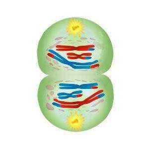 Краткое описание стадий и схемы деления клеток посредством мейоза 5