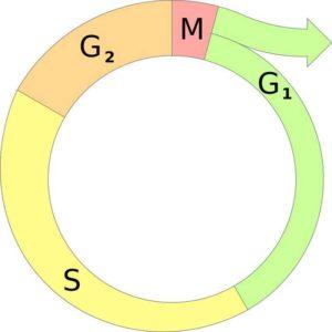 Особенности и последовательность этапов клеточного цикла 2