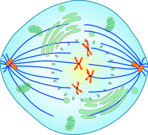 Краткое описание стадий и схемы деления клеток посредством митоза 4