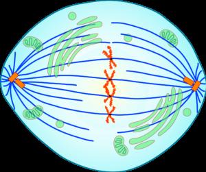 Краткое описание стадий и схемы деления клеток посредством митоза 5