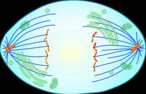 Краткое описание стадий и схемы деления клеток посредством митоза 6