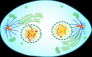 Краткое описание стадий и схемы деления клеток посредством митоза 7