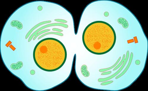 Образование дочерних клеток в результате митоза и мейоза 5