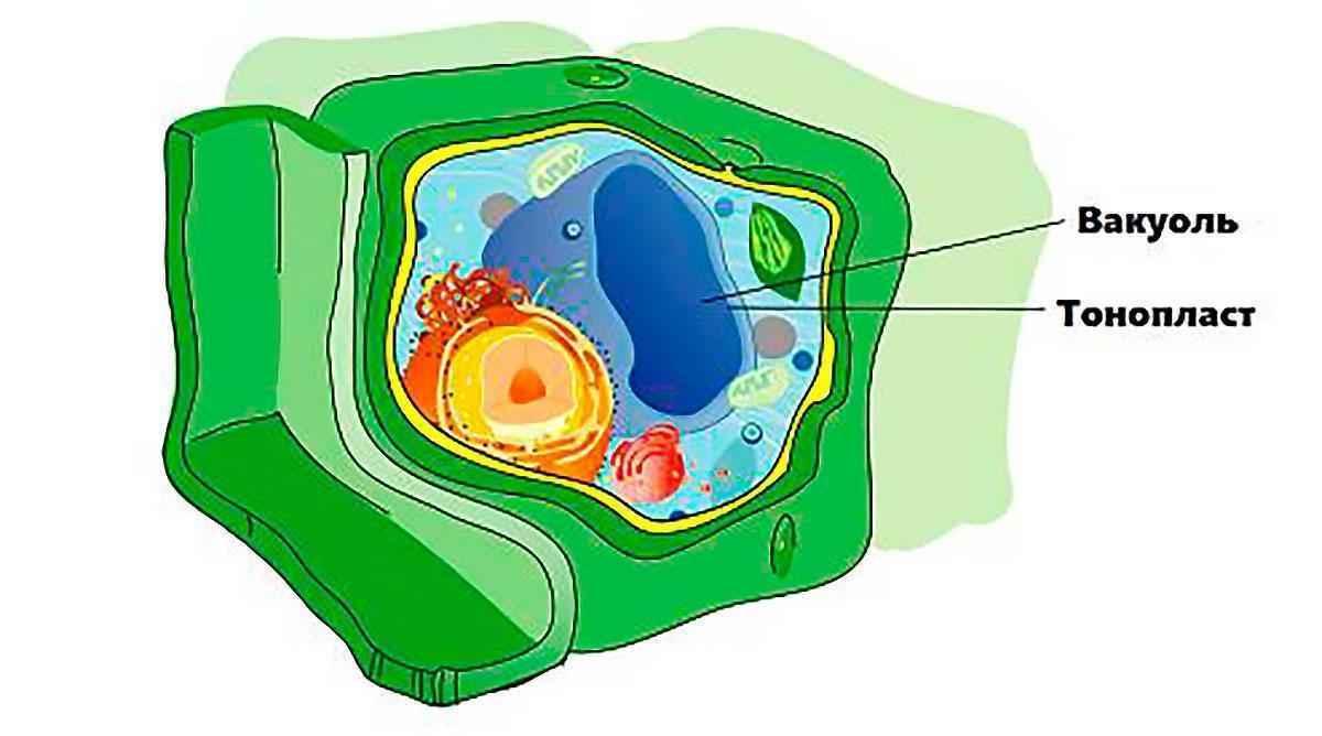 Вакуоль: краткая характеристика и функции в клетках ...  Вакуоль В Животной Клетке