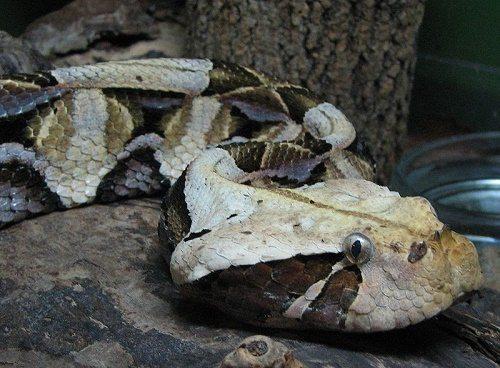 Самые смертельно опасные змеи Африки 3