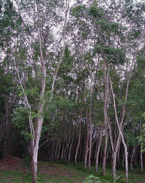 Растения тропических лесов: список, виды, названия, описание и фото 8