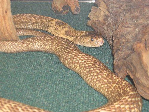 Самые смертельно опасные змеи Африки 4