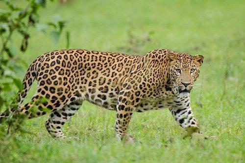 Леопард, или барс, или пантера 2