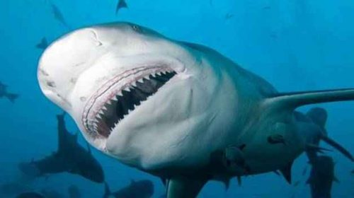 Виды и отряды акул - характеристика, примеры и фото 3