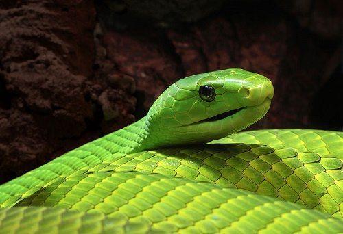 Самые смертельно опасные змеи Африки 5