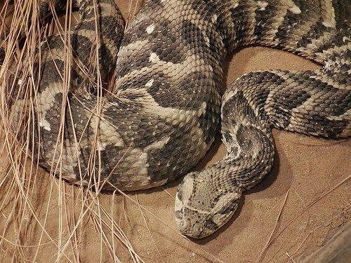 Самые смертельно опасные змеи Африки 2