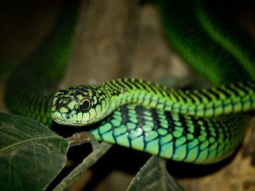 Самые смертельно опасные змеи Африки 7