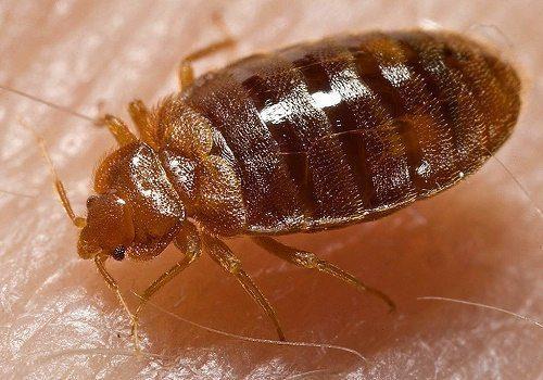 Какие насекомые смертельно опасные для человека - список, фото и описания 3