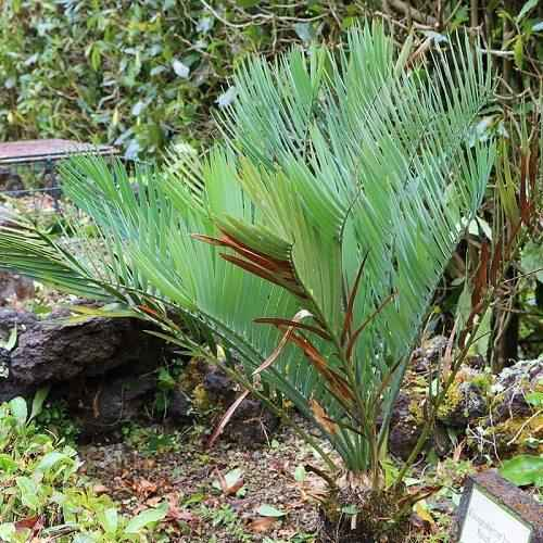 Фото и краткая характеристика самых редких растений на планете 6