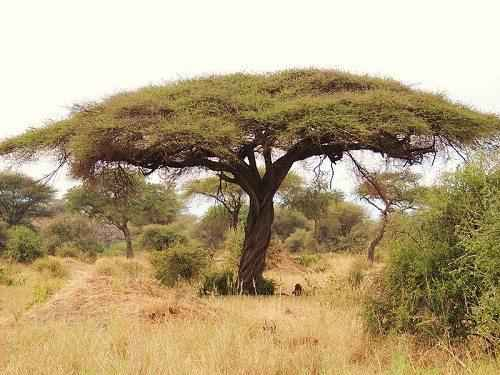 Характеристика, животный и растительный мир саванны Африки 18