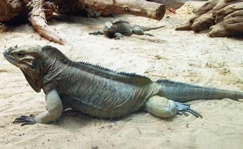 Самые необычные и удивительные ящерицы на Земле 10