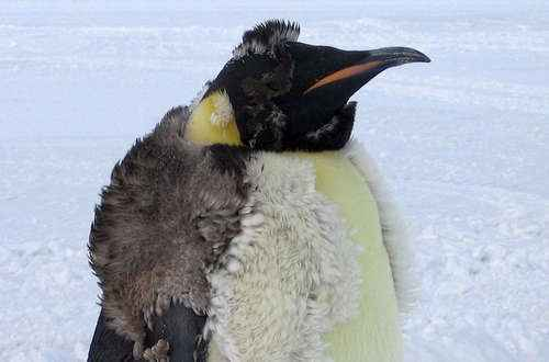 Самые интересные и познавательные факты про пингвинов 2