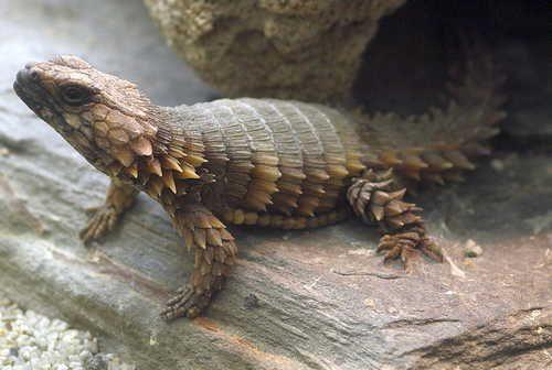 Самые необычные и удивительные ящерицы на Земле 4
