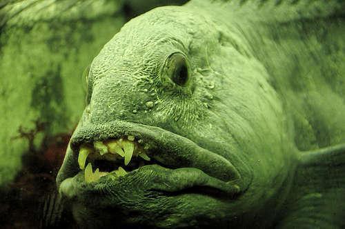 Самые удивительные, необычные и ужасные рыбы в мире 8