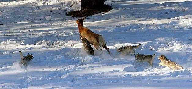 """Результат пошуку зображень за запитом """"вовкі полюють лося"""""""