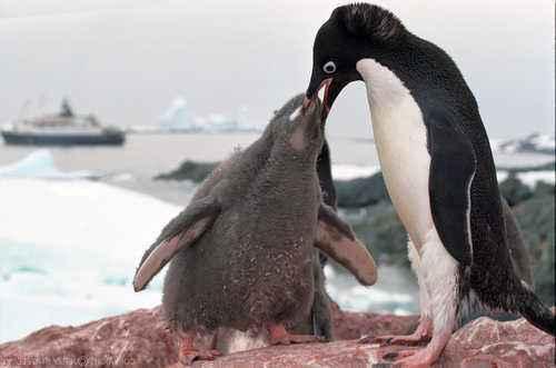 Самые интересные и познавательные факты про пингвинов 5