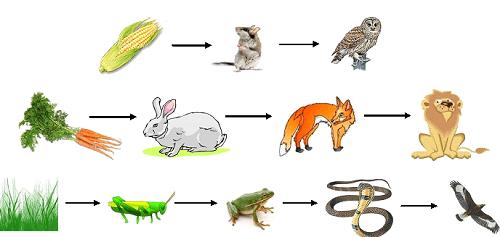 Отличие пищевой цепи от пищевой сети в экосистеме 2