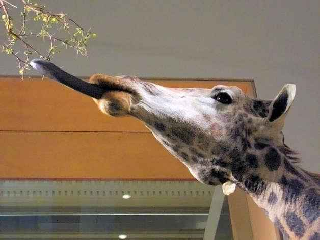 фото жирафа язык
