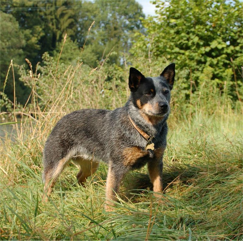 Австралийская пастушья собака: характеристика, стандарт, описание, содержание, фото и видео 10