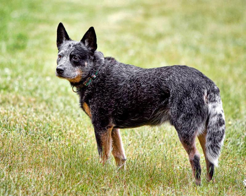 Австралийская пастушья собака: характеристика, стандарт, описание, содержание, фото и видео 8